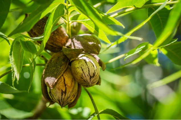 Pecan nuts: the key to Japanese rural revitalization